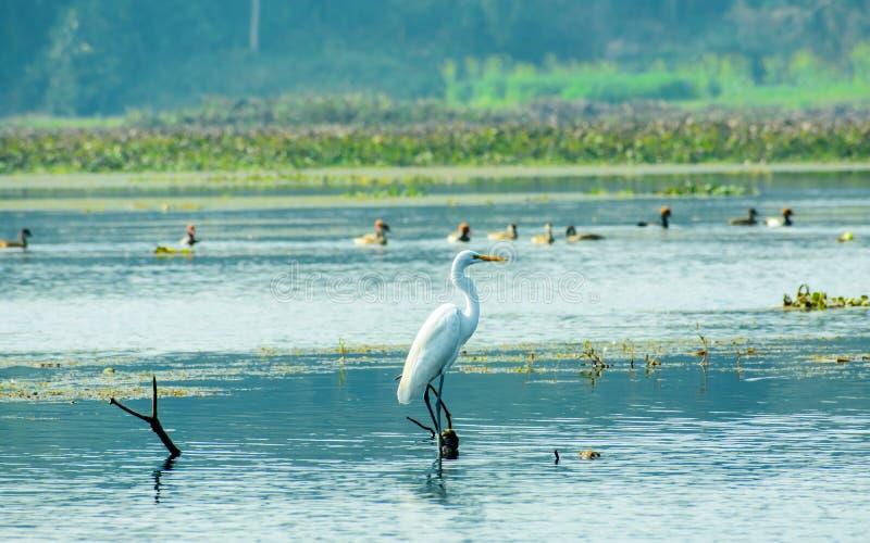Plan rapproché d'un Ardea de héron de héron alba, espèces communes de l'oiseau d'eau blanche laiteux orné avec les plumes de coul images stock