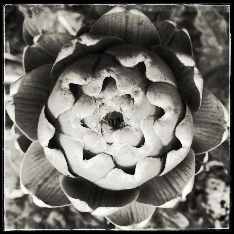 Plan rapproché d'un artichaut de bourgeonnement, monochrome photos libres de droits
