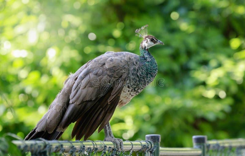 Plan rapproché d'un beau peafowl femelle et indien ou d'une PA de peafowl bleu photographie stock libre de droits