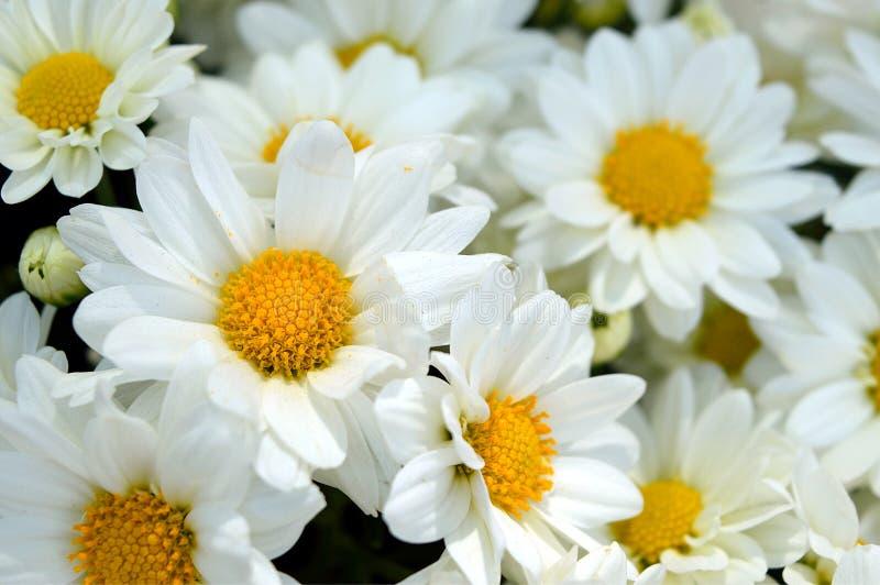 Plan rapproché d'un bouquet des marguerites photographie stock