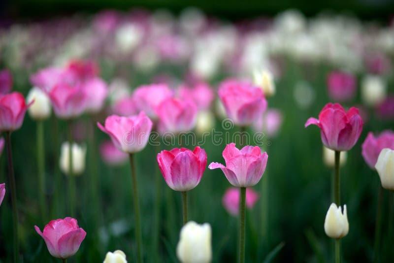 Plan rapproché d'un champ de rose et de tulipes impeccables images stock