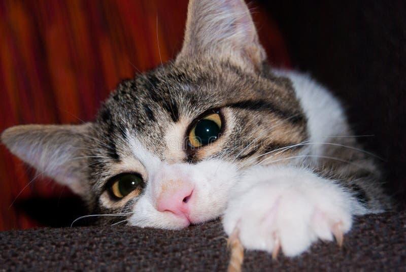 Plan rapproché d'un chat de chiot jouant sur le sofa photo libre de droits