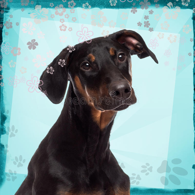 Plan rapproché d'un chiot de pinscher de dobermann photo stock