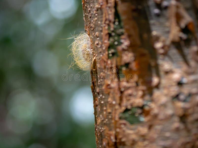 Plan rapproché d'un cocon d'insecte du côté d'un arbre gombo-fictif dedans photographie stock