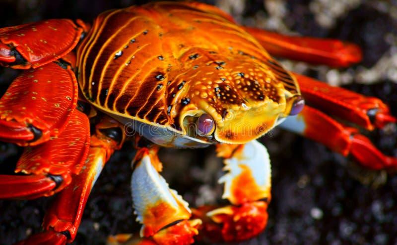 Plan rapproché d'un crabe de roche rouge images libres de droits