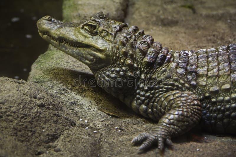 Plan rapproché d'un crocodile image libre de droits
