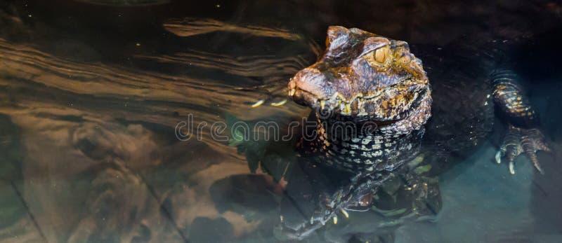 Plan rapproché d'un crocodile de caïman nain juvénile s'étendant dans l'eau, alligator tropical d'Amérique photos stock