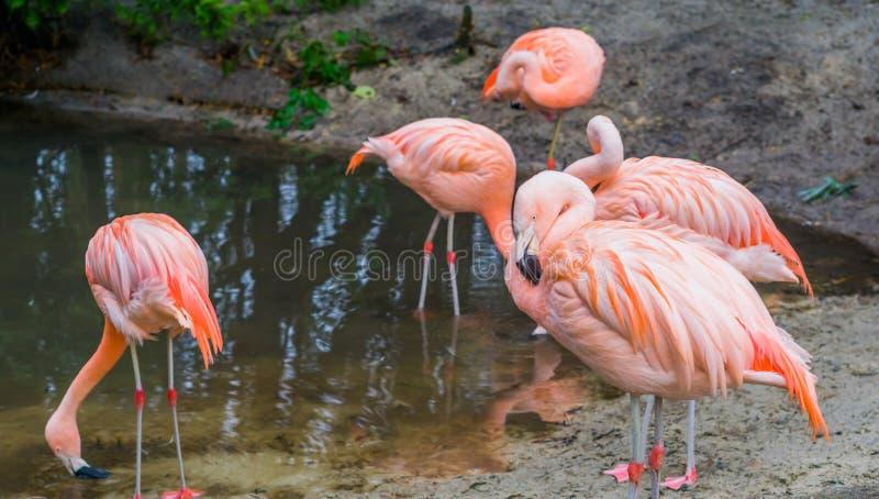 Plan rapproché d'un flamant chilien avec sa famille à l'arrière-plan, au rose et aux oiseaux colorés d'Amérique images libres de droits