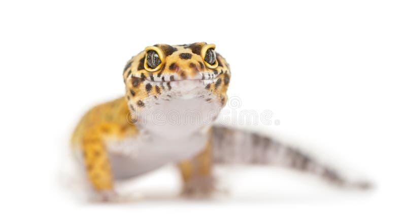 Plan rapproché d'un gecko de léopard, photos libres de droits