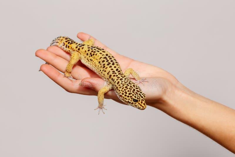 Plan rapproché d'un gecko femelle dans une main femelle image libre de droits