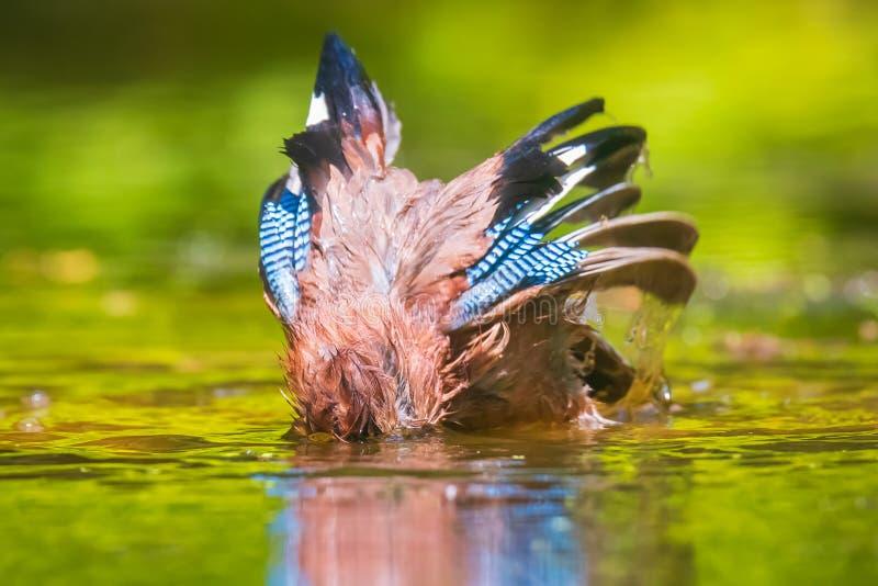 Plan rapproché d'un glandarius eurasien humide de Garrulus d'oiseau de geai lavant, lissant et nettoyant dans l'eau photographie stock