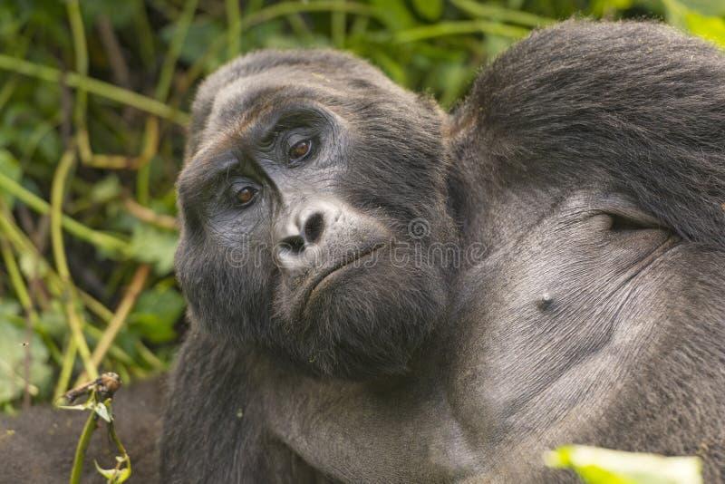 Plan rapproché d'un gorille de montagne de Silverback photo stock