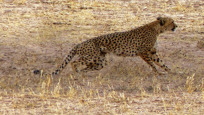 Plan rapproché d'un guépard sautant sur la chasse dans le désert photo libre de droits