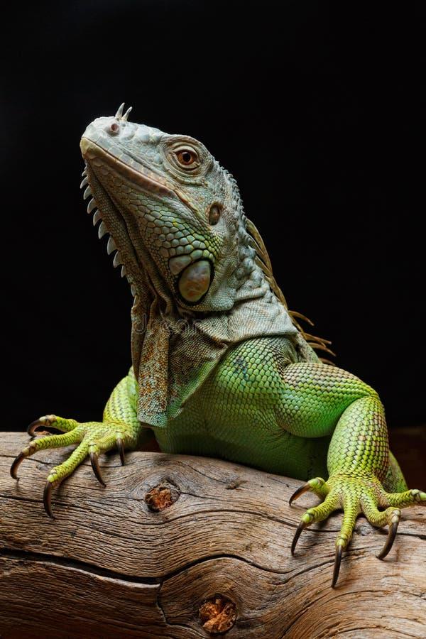 Plan rapproché d'un iguane vert masculin (iguane d'iguane) images libres de droits