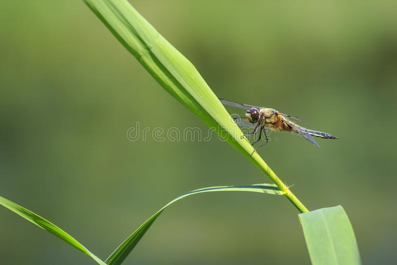 Plan rapproché d'un insecte quatre-repéré de libellule de chasseur, Libellula qu photo libre de droits