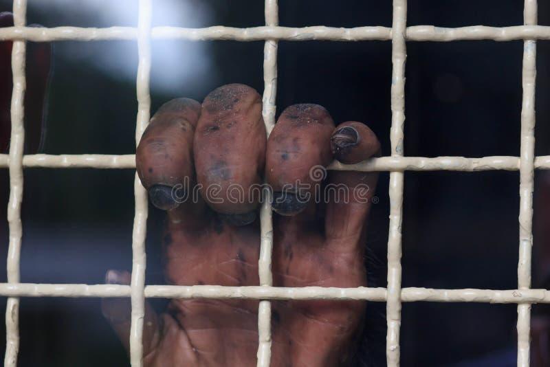 Plan rapproché d'un jeune bras du ` s d'orang-outan de Bornean dans la cage prison images stock