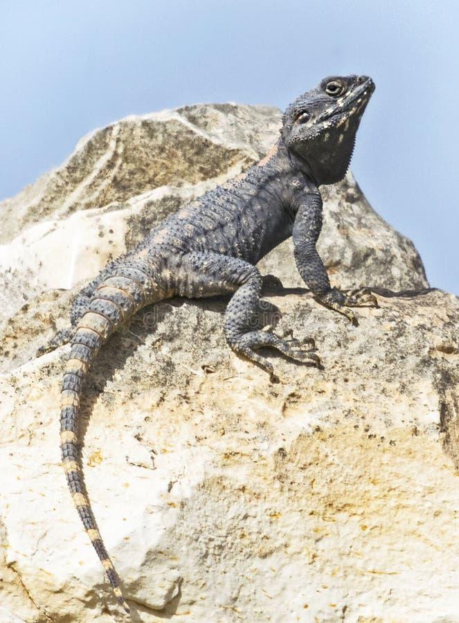 Plan rapproché d'un lézard d'agame de roche de Roughtail sur Boulder images stock