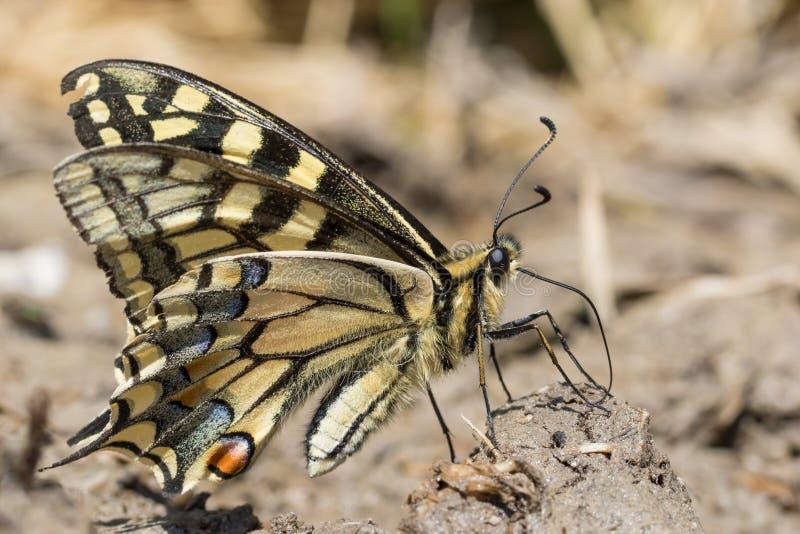 Plan rapproché d'un machaon de Vieux Monde - machaon de Papilio - au sol photographie stock libre de droits