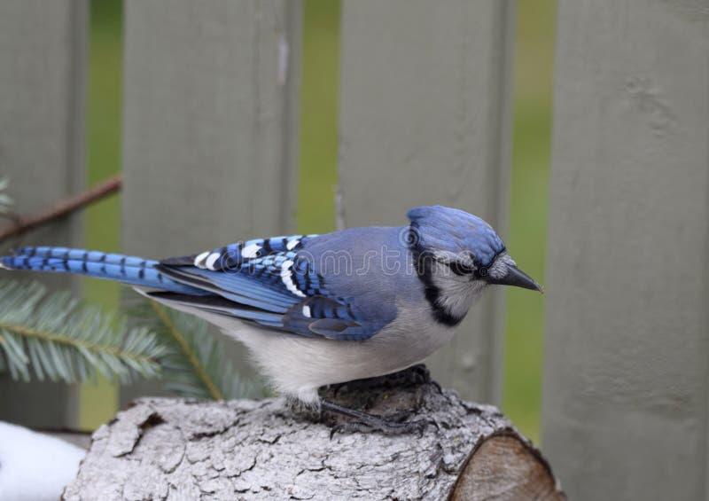 Plan rapproché d'un oiseau de geai bleu images libres de droits