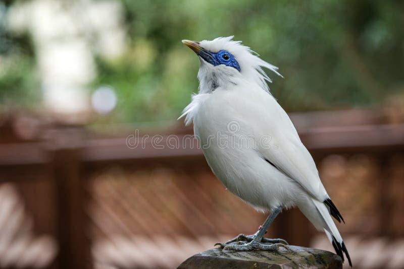 Plan rapproché d'un oiseau de myna de Bali photos stock