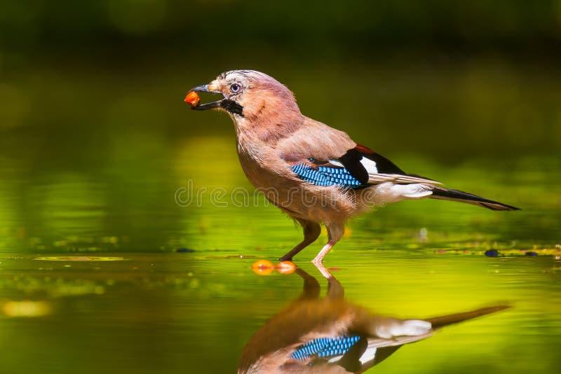 Plan rapproché d'un oiseau eurasien de glandarius de Garrulus de geai buvant, lavant, lissant et nettoyant dans l'eau images libres de droits