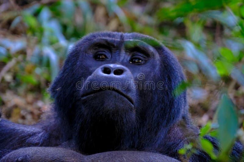 Plan rapproché d'un orang-outan près des arbres et des usines avec le fond naturel brouillé images stock