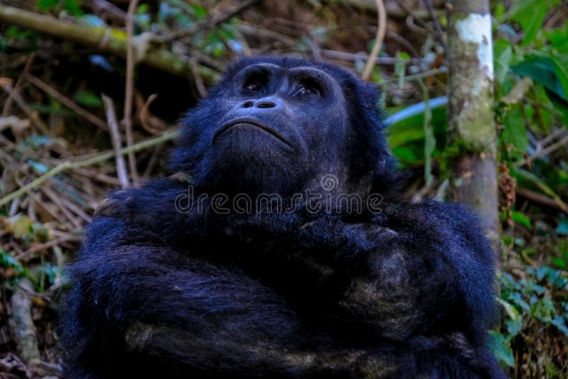 Plan rapproché d'un orang-outan recherchant au ciel avec le fond naturel brouillé image stock