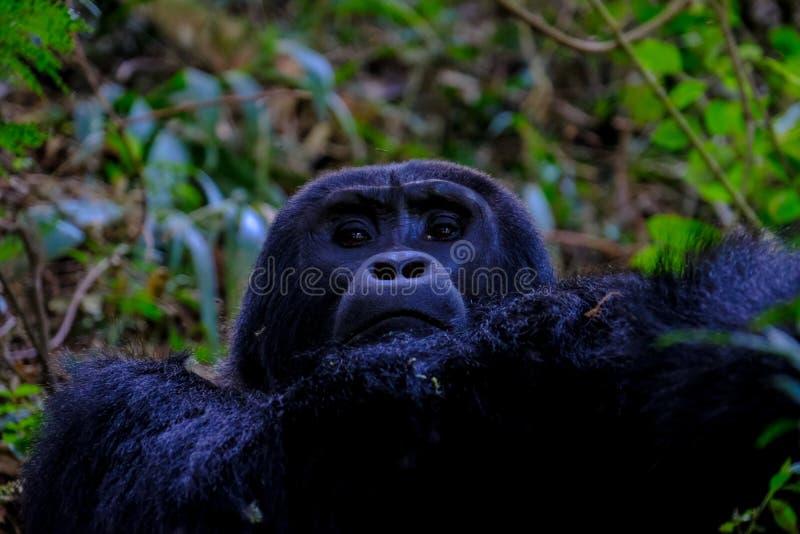 Plan rapproché d'un orang-outan regardant la caméra près des arbres avec le fond naturel brouillé photos stock