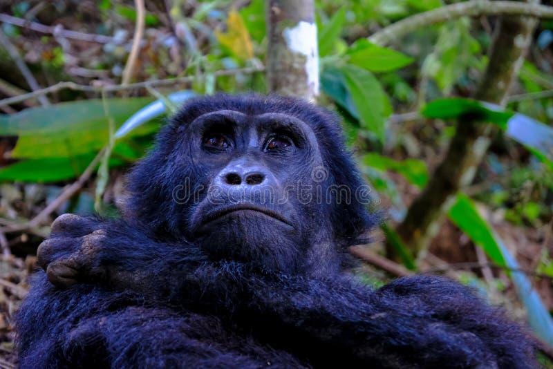 Plan rapproché d'un orang-outan se reposant près des arbres avec le fond naturel brouillé photographie stock