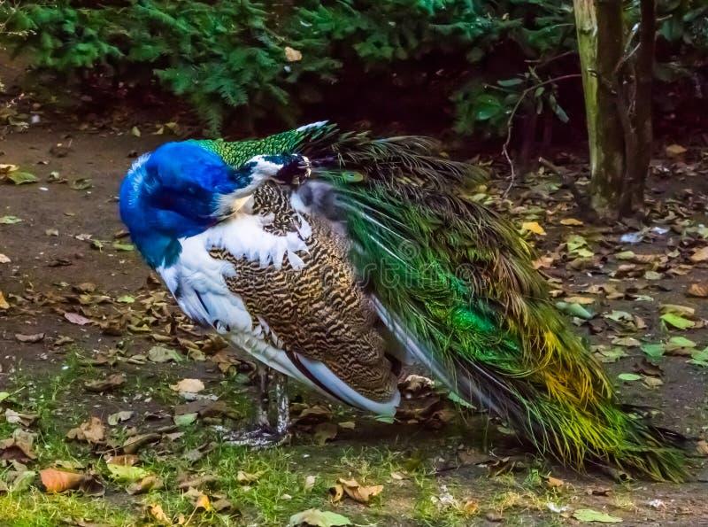 Plan rapproché d'un paon iridescent lissant ses plumes, belle couleur et variation de colorant, animal familier populaire en avic images stock