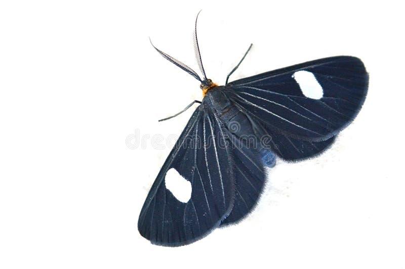 Plan rapproché d'un papillon noir à un arrière-plan blanc images stock