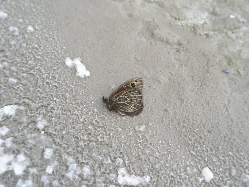 Plan rapproché d'un papillon sur la surface de sel d'une assèche image libre de droits