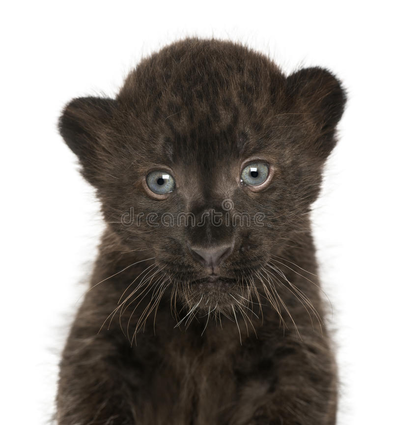 Plan rapproché d'un petit animal noir de léopard, 3 semaines de  photo stock