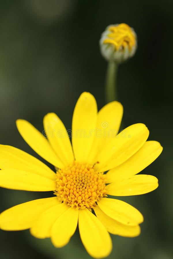 Plan rapproché d'un petit fond vert-foncé jaune de fleur et de tache floue images stock