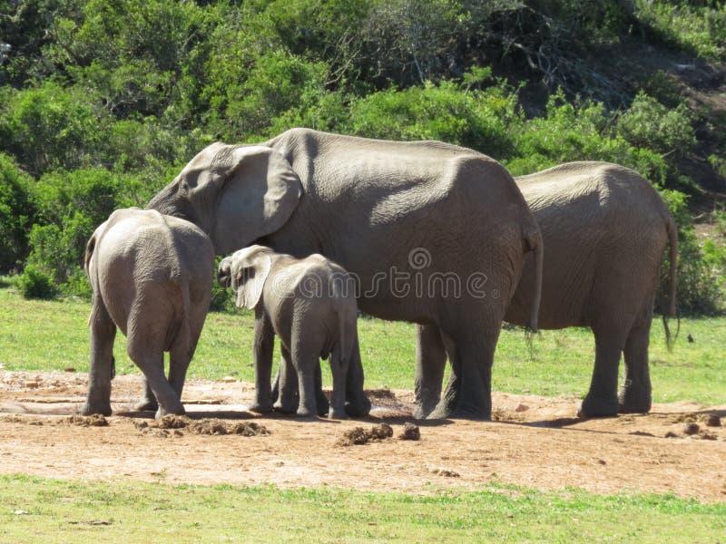 Plan rapproché d'un petit troupeau d'éléphant photo stock