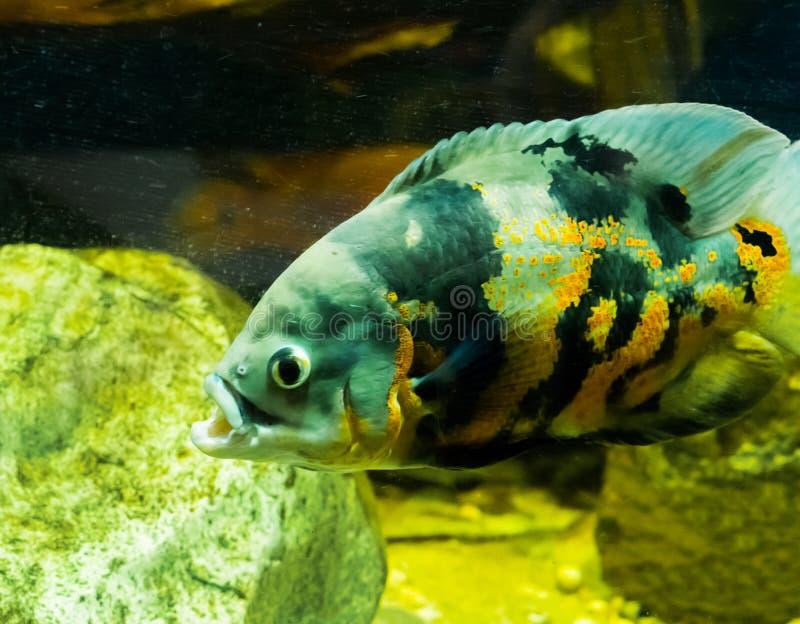 Plan rapproché d'un poisson d'oscar de tigre, un animal familier tropical d'aquarium de l'océan de l'Amérique du Sud photo stock