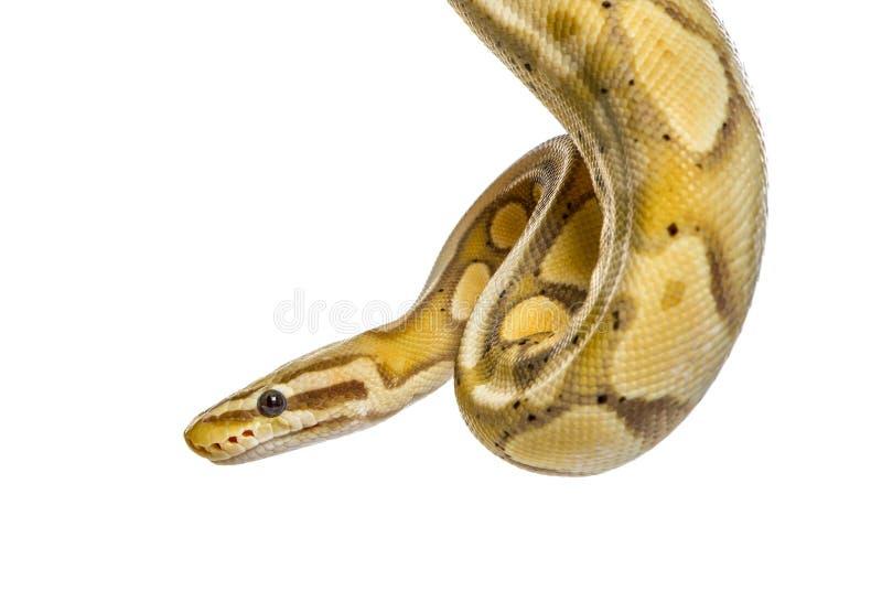 Plan rapproché d'un python de luciole, d'isolement image stock
