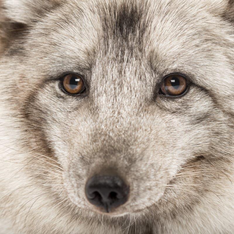 Plan rapproché d'un renard arctique, lagopus de Vulpes photographie stock libre de droits