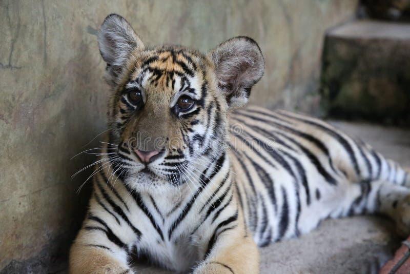 Plan rapproché d'un Sibérien Tiger Cub de deux ans photographie stock libre de droits