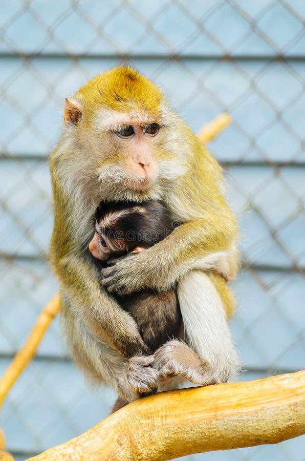 Plan rapproché d'un singe mignon de bébé, se cachant près du sein de la mère photographie stock libre de droits