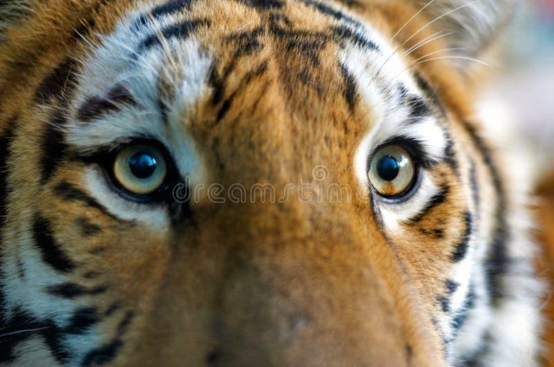 Plan rapproché d'un tigre photographie stock