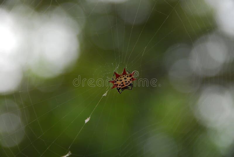 Plan rapproché d'une araignée d'étoile sur un Web photos libres de droits
