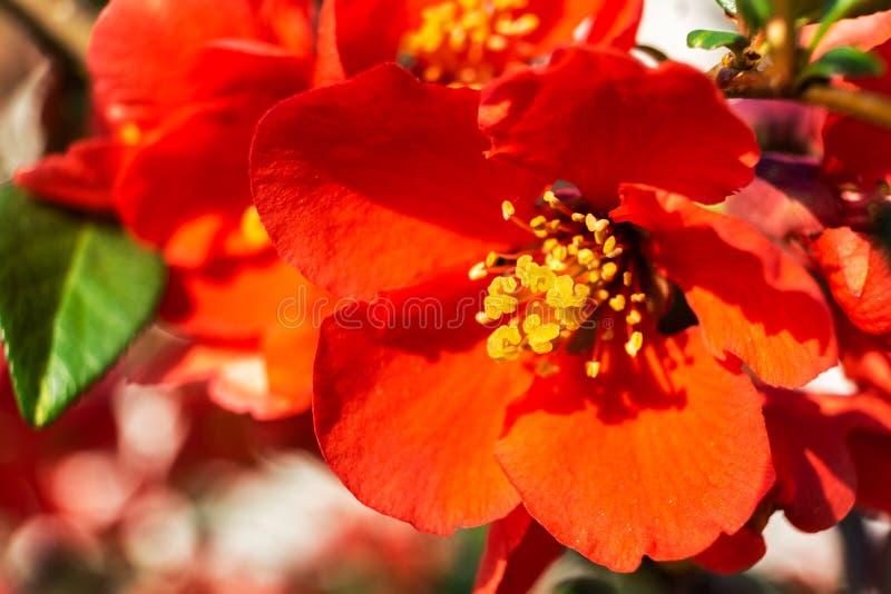 Plan rapproché d'une belle fleur japonaise de rouge de pommier photo libre de droits