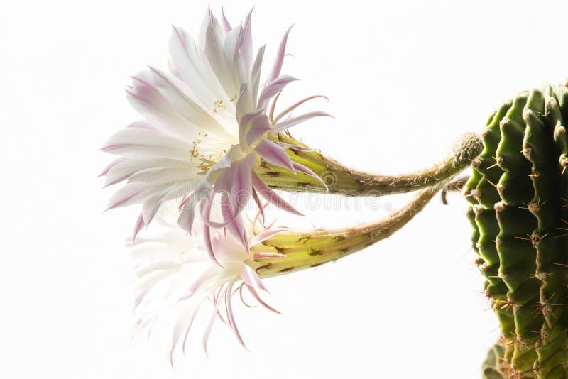 Plan rapproché d'une belle fleur soyeuse de cactus d'Echinopsis Lobivia d'offre de rose et d'une plante en épi épineuse verte images stock