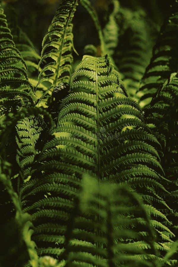 Plan rapproché d'une belle forêt de fougère dans un secteur foncé images libres de droits