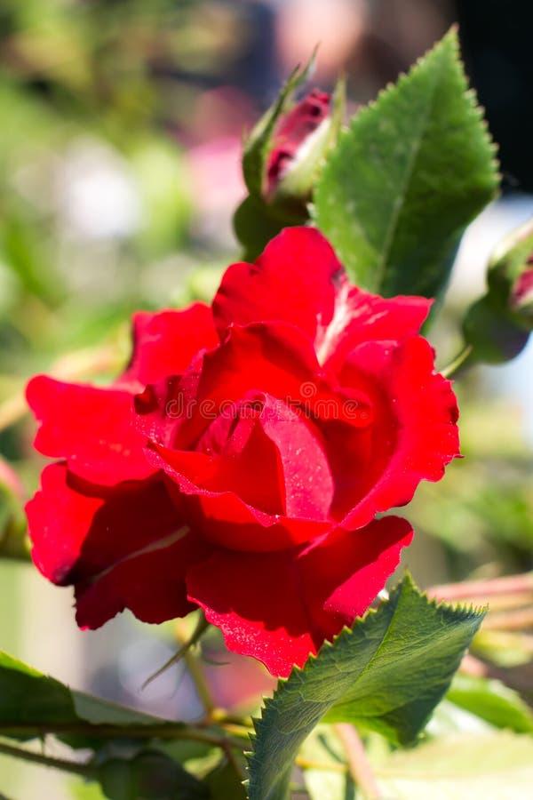Plan rapproché d'une belle rose de rouge photo libre de droits