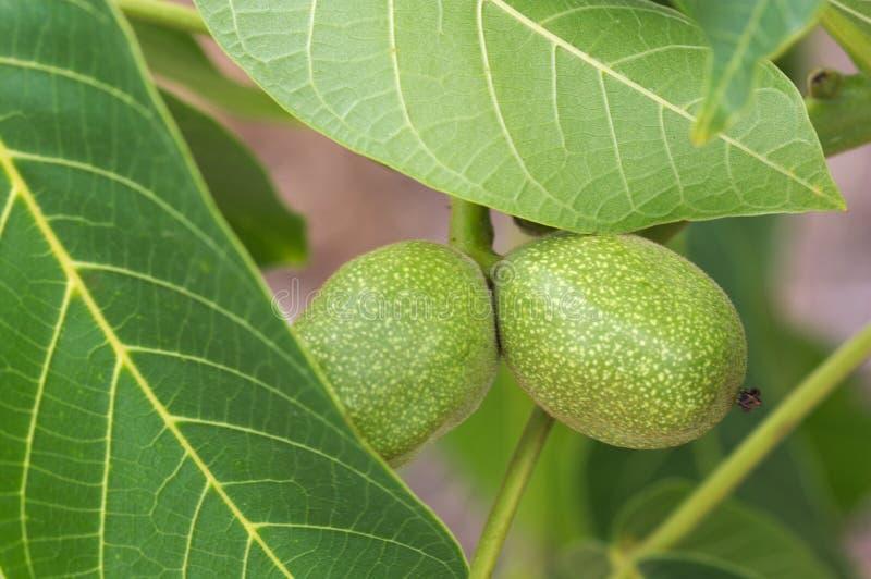 Plan rapproché d'une branche de noix avec les écrous encore non mûrs photographie stock