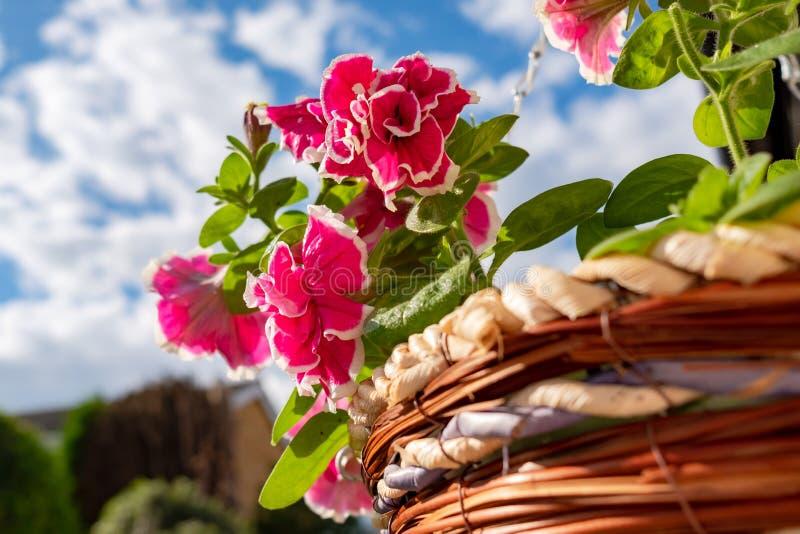 Plan rapproché d'une disposition accrochante nouvellement plantée de panier montrant les fleurs roses sensibles vues dans un pani photos stock