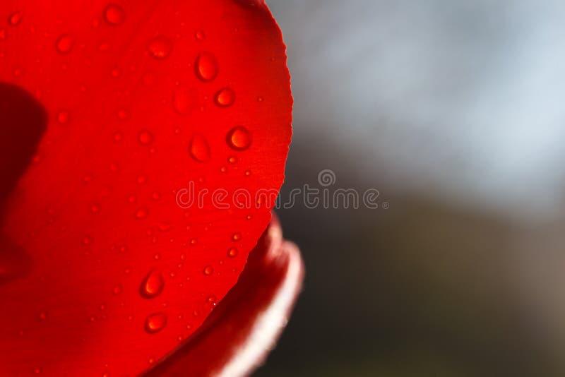 Plan rapproché d'une feuille de tulipe rouge dans les gouttes de l'eau sous les rayons de la lumière du soleil images stock