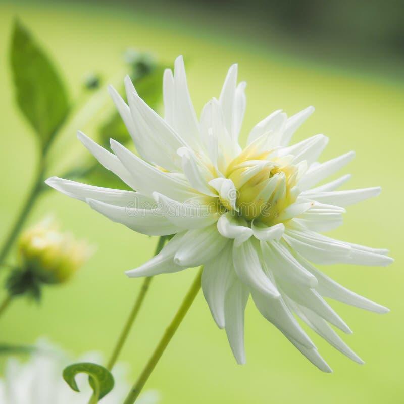 Download Plan Rapproché D'une Fleur Blanche De Dahlia Image stock - Image du normal, copie: 77151629